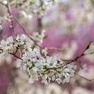 White Blossum