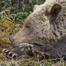 Claws! Interior Grizzly Bear