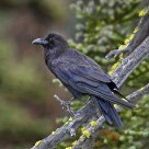 Common Raven in Old Growth Rain Forest