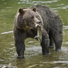 Coastal Grizzly Bear with Female Pink Salmon