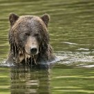Grizzly Bear in Salmon Stream Pool
