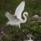 Great Egret Nest Landing