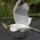 Great Egret Over Gator