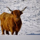 Highland cow