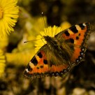 Butterfly (Aglais urticae)