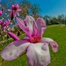 Fisheye Magnolia