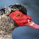 Portrait d'un canard de barbarie
