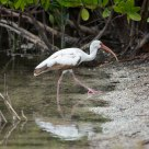 White Ibis