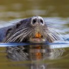 Nutria swimming