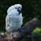 White parrot.