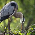 Great Blue Heron / Grand Hron Bleu
