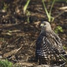 Young Cooper's Hawk hunting from the ground / pervier de Cooper juvnile chassant au sol