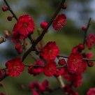 红梅满枝头