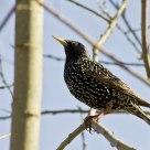 Stær / Starling / Sturnus vulgaris