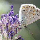 Argus bleu-nacré - Lysandra coridon
