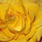 Rosey Texture