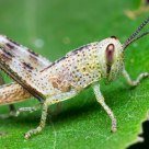 White grasshopper