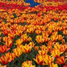 Tulips Festivals