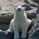 Polar Bear Under The Sun