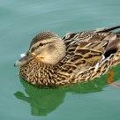 The Mallard Duck.