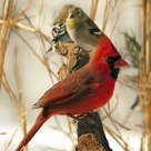 Cardinal and Friends