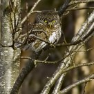 Spurvugle / Eurasian Pygmy Owl / Glaucidium passerinum