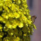 A Butterfly and A Ball of Yellow Flowers