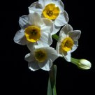 Daffodills