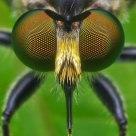 Robberfly 'eyes'