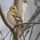 The Chaffinch (Fringilla coelebs) Bokfink in norwegian.