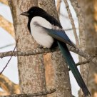 The Eurasian Magpie( Pica pica) Is also a beautiful bird