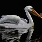 White Pelican Dark Waters