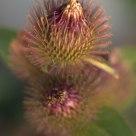Desert Flowers--Burdock