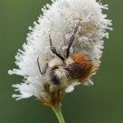 Bistort and Bee