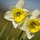 The Narcissus Twins