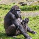 Gorilla mother in the sun