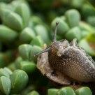 rollover snail