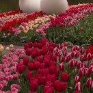 Tulip Utopia