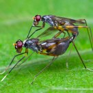 The mating - Stilt Legged Fly