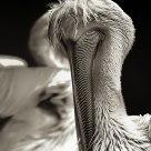 Pelican W/B