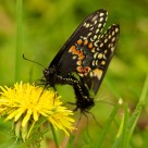 Swallowtails 2