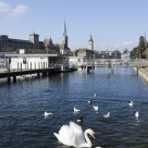 swans in Limmat