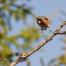 Chaffinch landing in a tree
