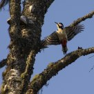 Great Spotted Woodpecker/Dendrocopos major