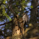Three-toed Woodpecker / Picoides tridactylus/ in an old-growth forest in Norway