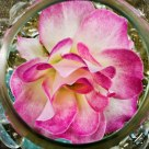 Prized Rose