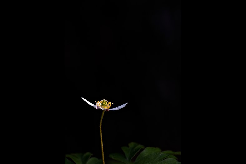 Anemone nemorosa