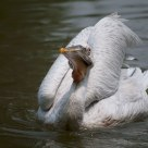 Proud Pelican