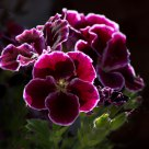 Back Lit Geraniums
