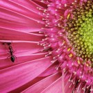 ant on pink flower